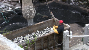 harvesting alewives from Grist Mill Stream