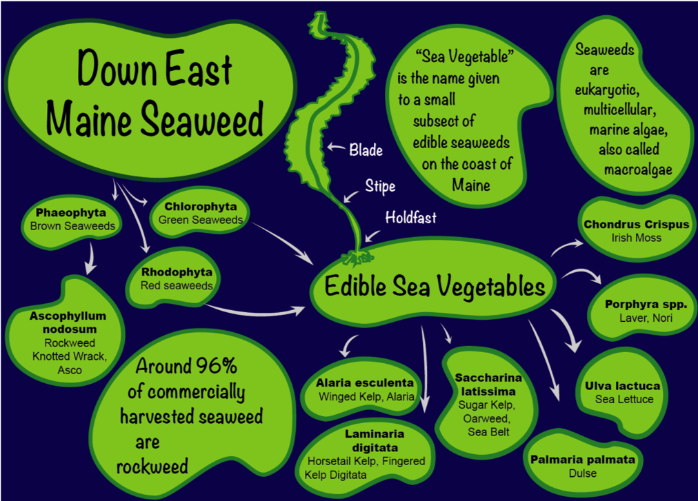 relational graphic of downeast seaweed species and facts