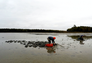 two worm harvesters bent over the wet sand